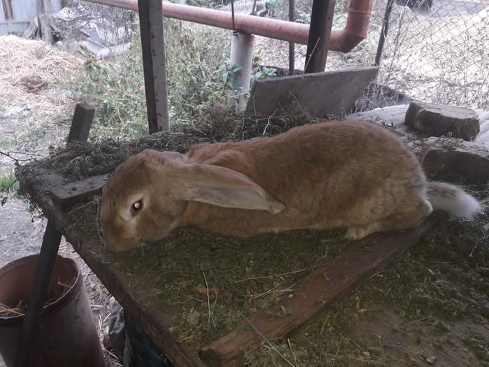 Продаю крола возраст 6 месяцев привитый порода фландр. Photo 1