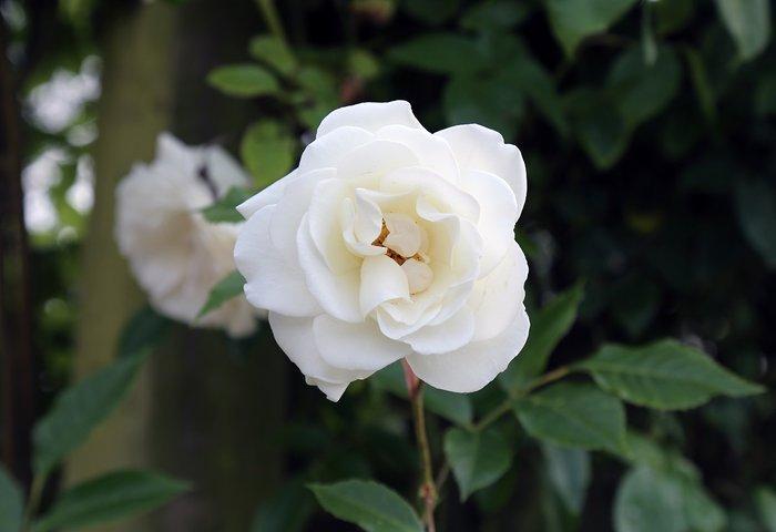 50 Σποροι Ασπρο Τριανταφυλλο. Photo 1