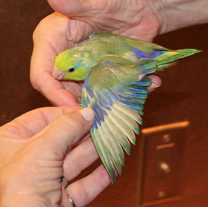 Single Female Green & Yellow Parrotlet (hand fed)