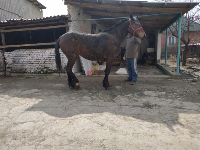 Жорго бээ , Сатылат 3 жашта в Бишкек