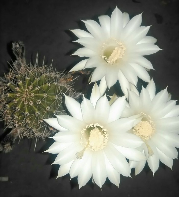 Продаю отростки кактуса с цветками. Все вопросы только по телефону. в Бишкек