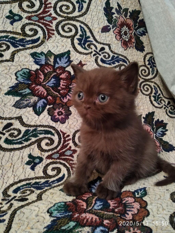 Продаются чистокровные британские котята разных окрасов