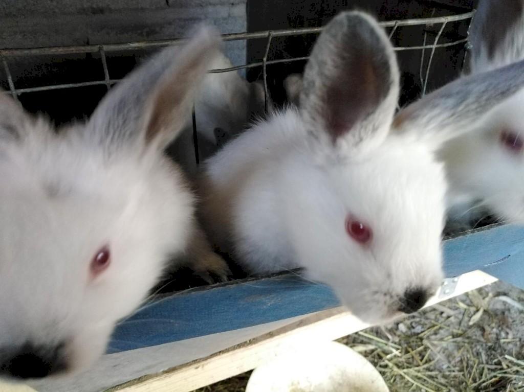 Продаю чисто кровных кроликов Калефорния родились 22. 09. Photo 4