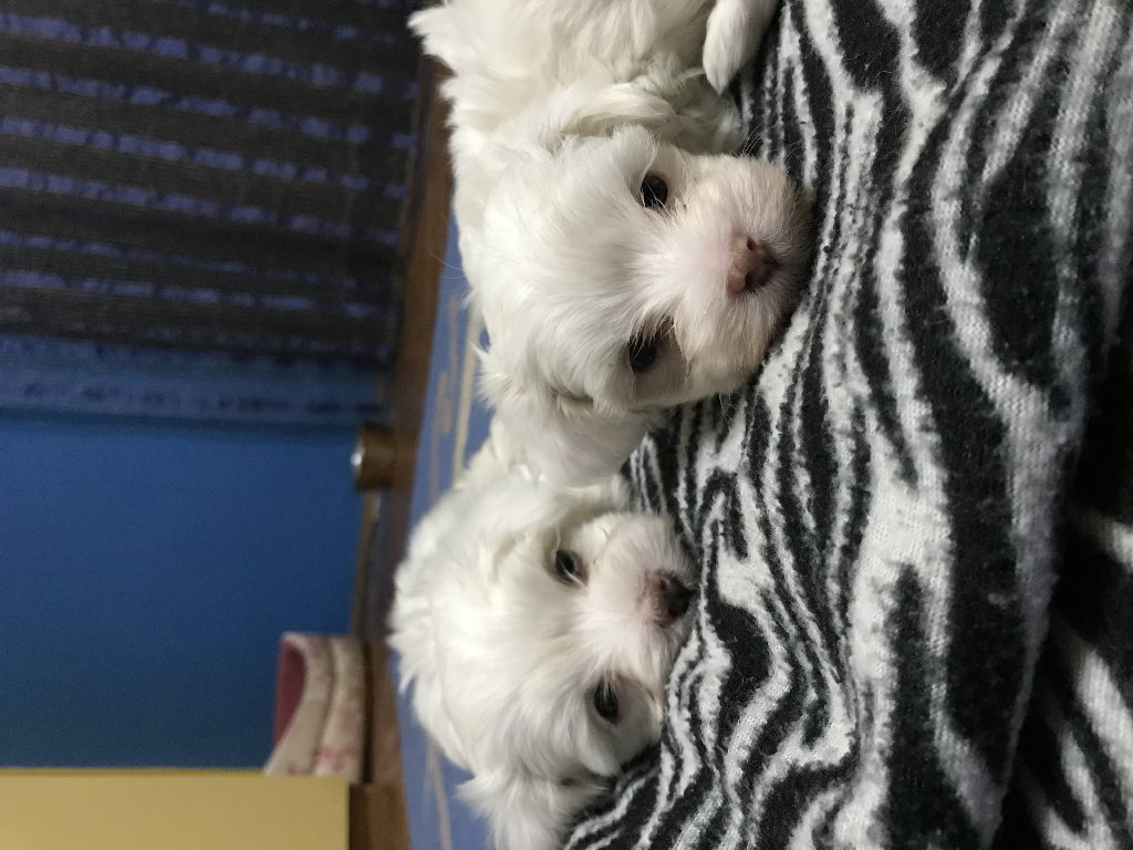 Male maltese puppy for sale! With pedigree and passport