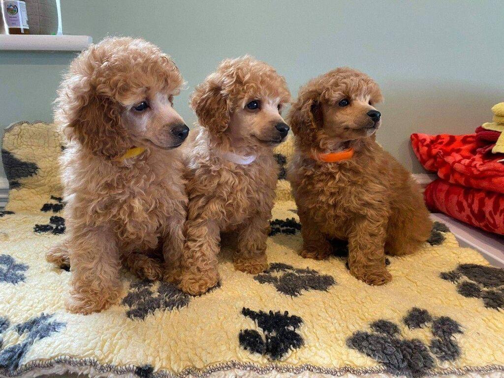 Πωλούνται υπέροχα κουτάβια Poodle Poodle κουτάβια διαθέσιμα προς
