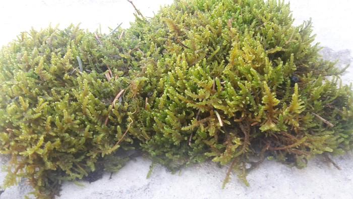 Продаю живой не стабилизованный горный мох. Photo 4