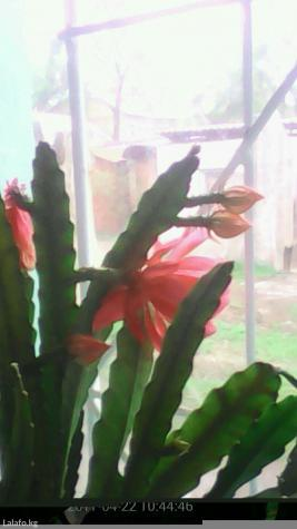 Цветок в Бишкек