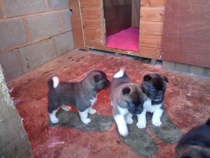 Beautiful American Akita Pups