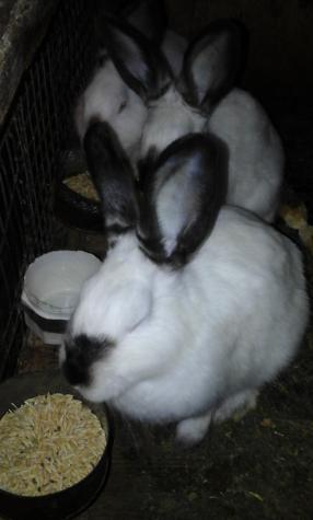 Продам крольчат Калифы возраст 4 месяца. Photo 6