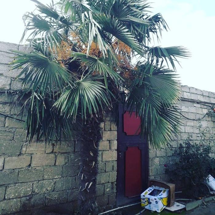 Palma agaci. Photo 0