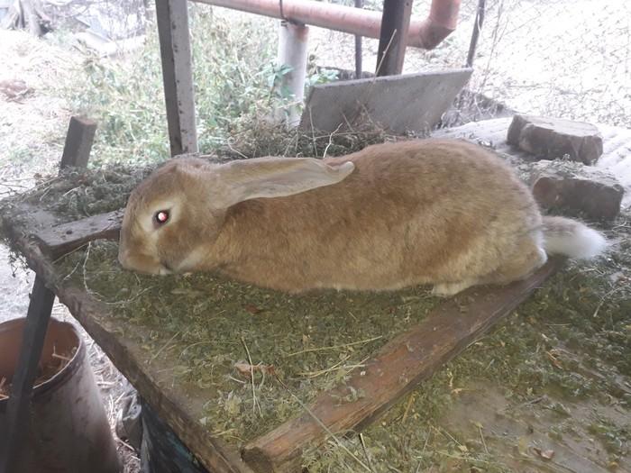 Продаю крола возраст 6 месяцев привитый порода фландр. Photo 2