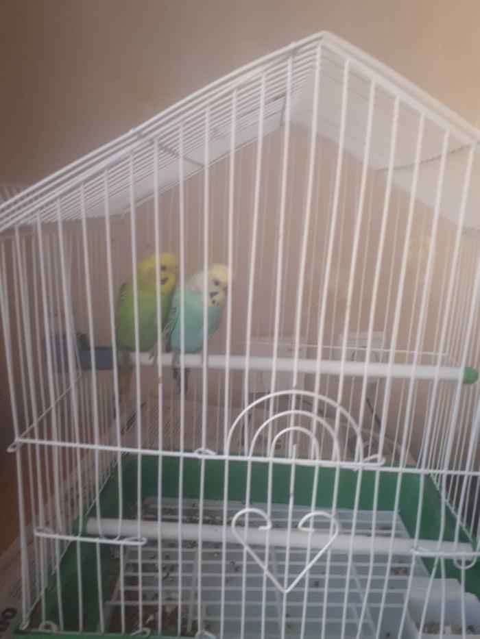 Продаю пару волнистых попугаев. Photo 0