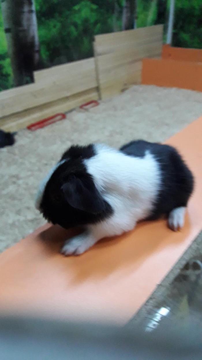Морские свинки распродажа по 300 сом. Photo 0