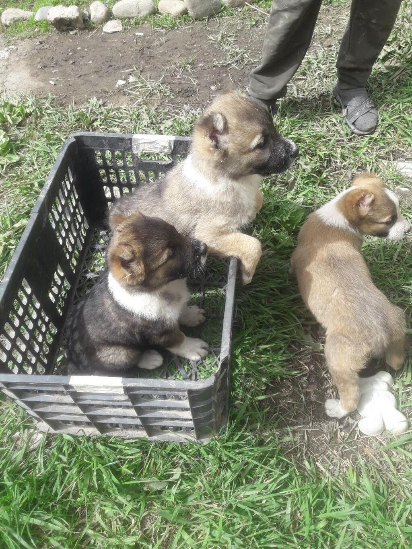 Продаю щенков САО Алабай щенкам один месяц. возможен обмен. Г: Продаю щенков САО Алабай щенкам один месяц. возможен обмен. Г.