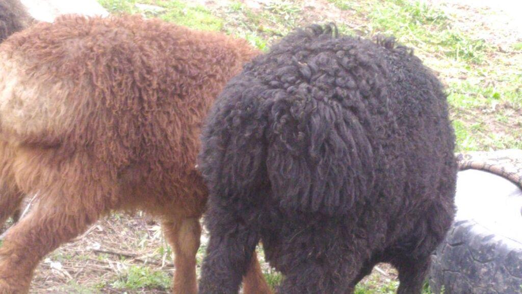 КойБаранОвцаАвцаОвечкаАнечкаРазные виды овецБоран   верхний Токолдош: КойБаранОвцаАвцаОвечкаАнечкаРазные виды овецБоран   верхний Токолдош