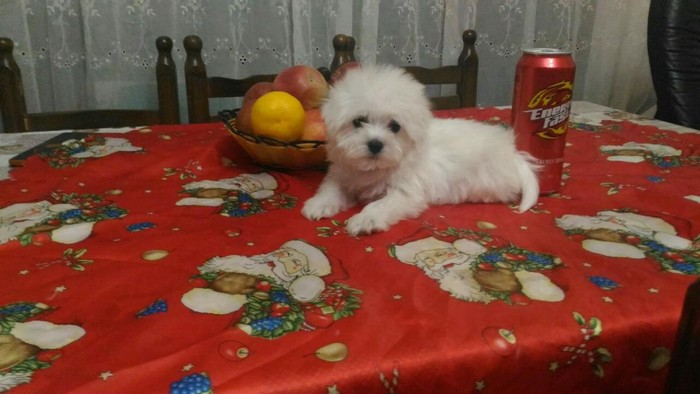 Toy Maltese for Sale in Greece. Photo 0