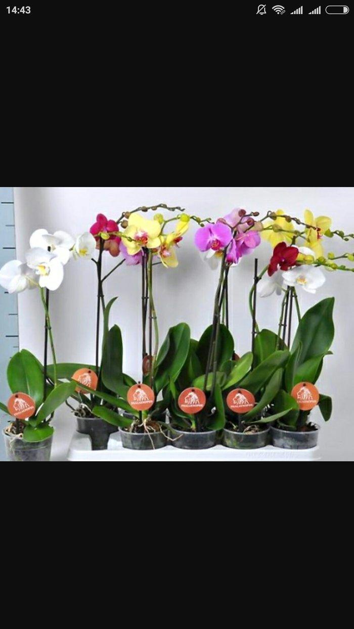 Орхидея фалинопсис в Бишкек