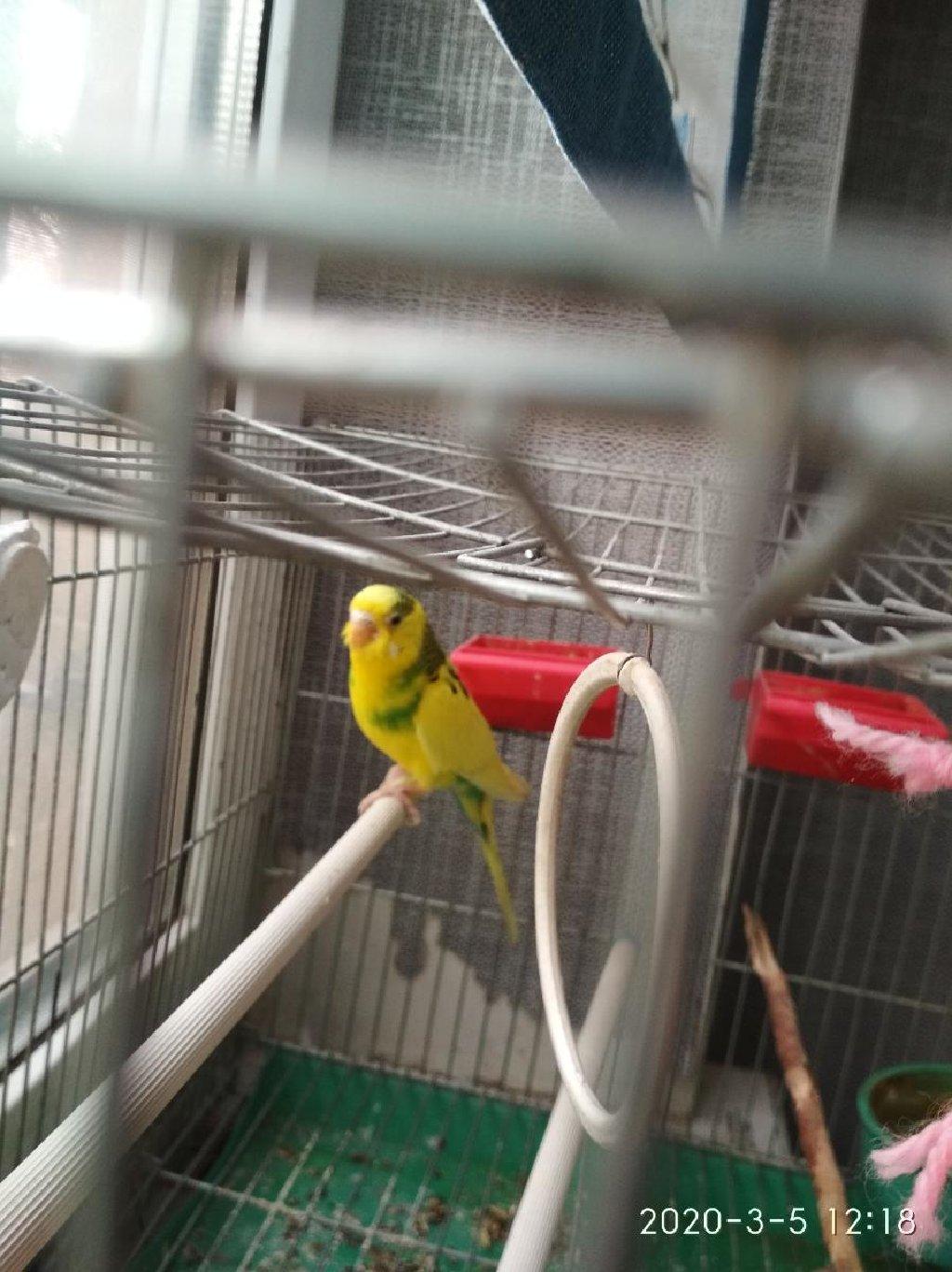 Продается волнистый попугай,самочка.Без клетки