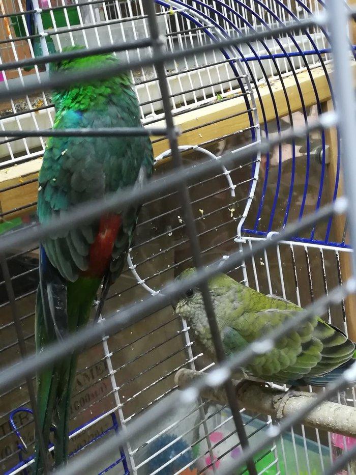 Певчие попугаи разные  в Сокулук