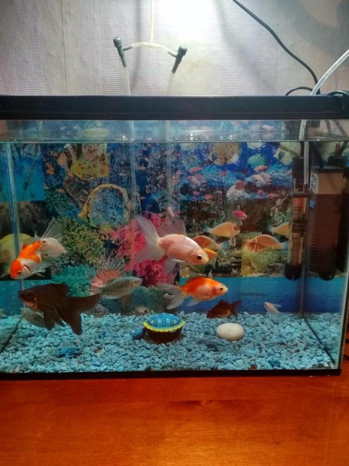 Аквариум 40л с 13 рыбками.5 золотых, 2гурами,6тернеций.Уступлю в Бишкек