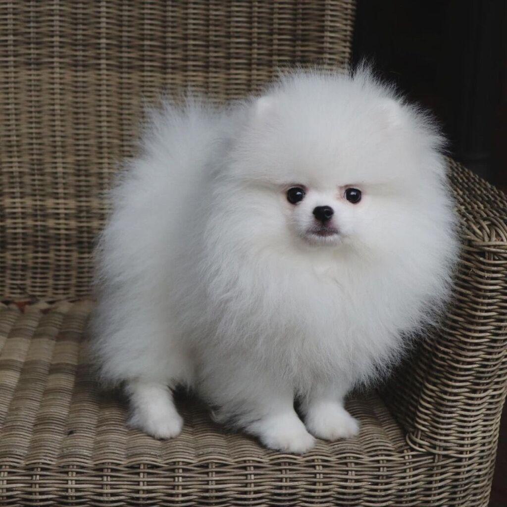 Όμορφο Pomeranian προς πώλησηWhatsapp (+)Ο Λούις είναι ένα καθαρόαιμο: Όμορφο Pomeranian προς πώλησηWhatsapp (+)Ο Λούις είναι ένα καθαρόαιμο