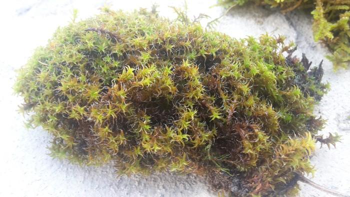 Продаю живой не стабилизованный горный мох. Photo 3
