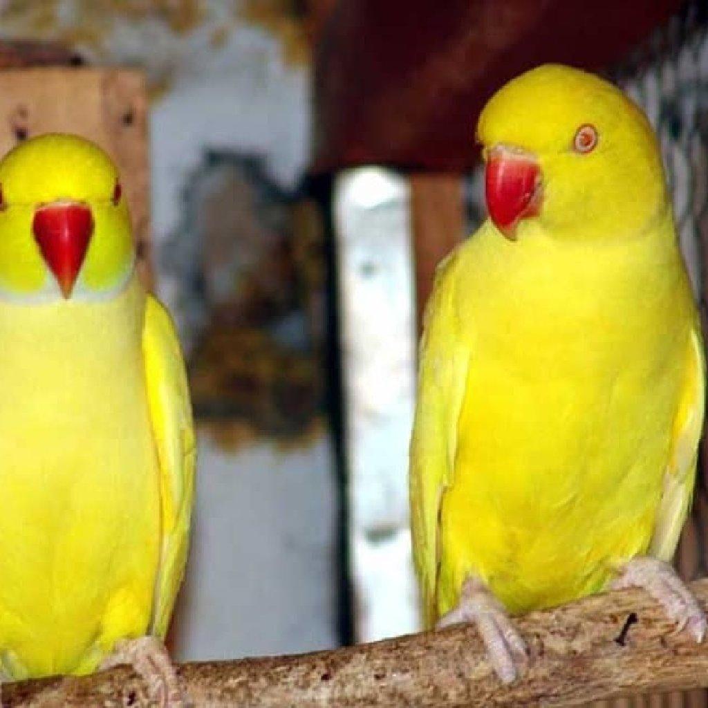 Ожиреловые попугаи хорошо обучаются разговору и отлично приручаются к рукам есть и зеленного цвета тоже