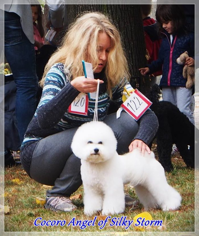 Bichon frise, male for sale, born 01  January 2018  for