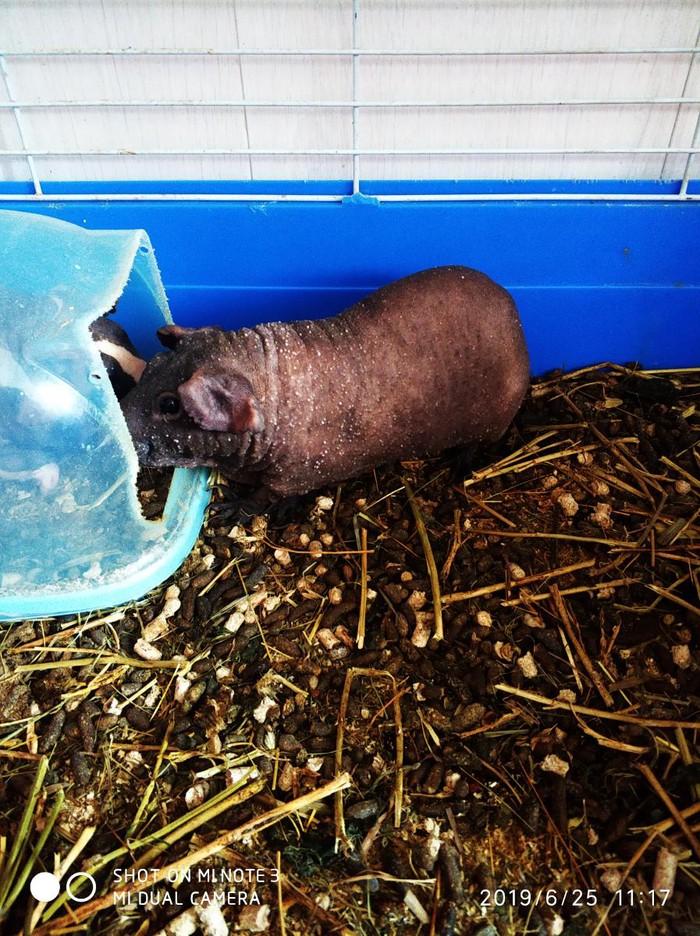 Продаю морскую свинку Болдуин, мальчик 2 года вместе с клеткой. Photo 0
