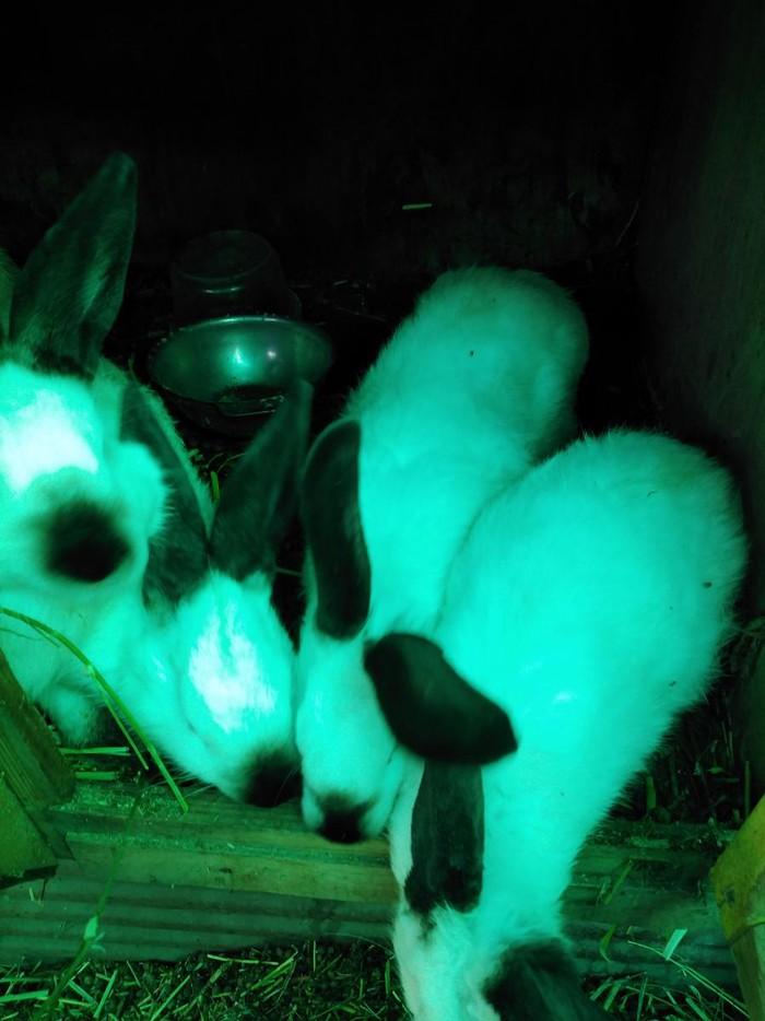 Продаю кроликов Калефорния 4 месяца. Photo 2