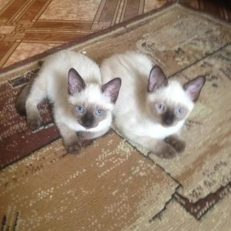 Siamese kitten Γάτα του Σιάμ. Photo 2