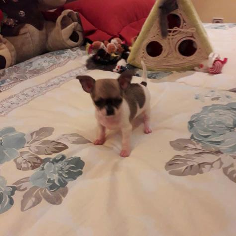 Chihuahua puppies Τσιουάουα σκύλος. Photo 0