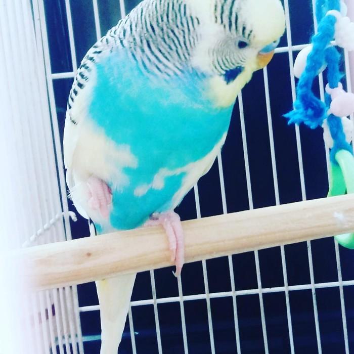 Приученный  волнистый папугай с клеткой,корм,мел,песком. Photo 2