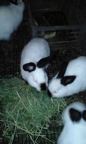 Продам крольчат Калифы возраст 4 месяца. Photo 3