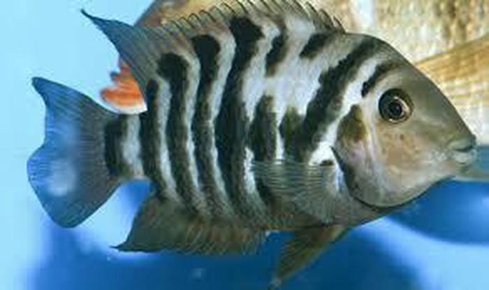 Аквариумние рибки цени договорние. Photo 5