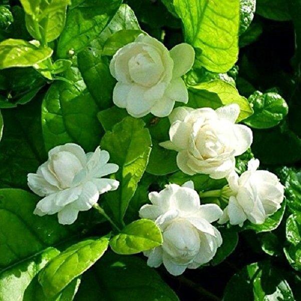 50 Σποροι Ασπρο Τριανταφυλλο. Photo 3