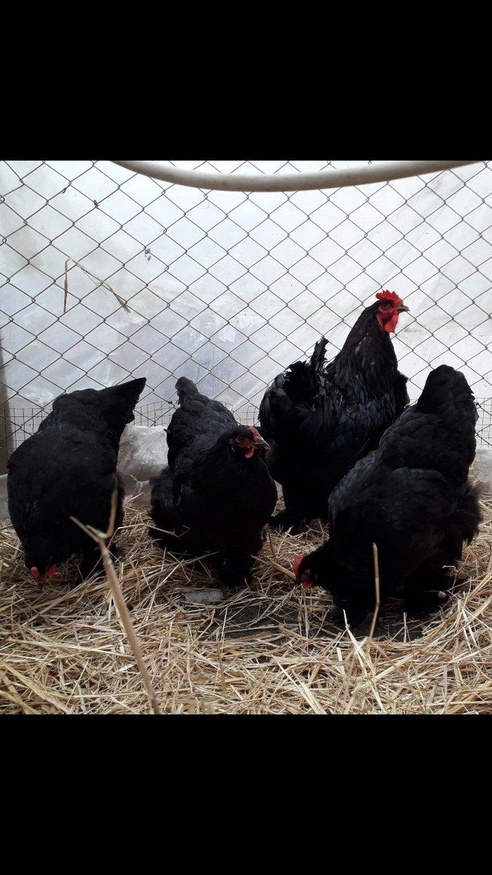 Bakı şəhərində Dark brama yumurtası satılır 2 manat. Təzə 4-5 günün yumurtası