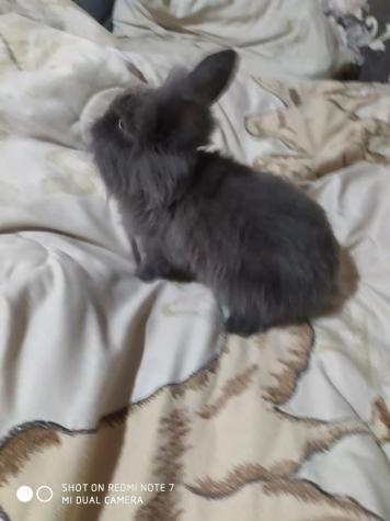 Декоративный кролик 2 месяца. Photo 0