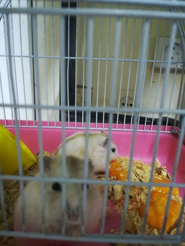 Джунгарские хомяки персиковый окрас.. Photo 0