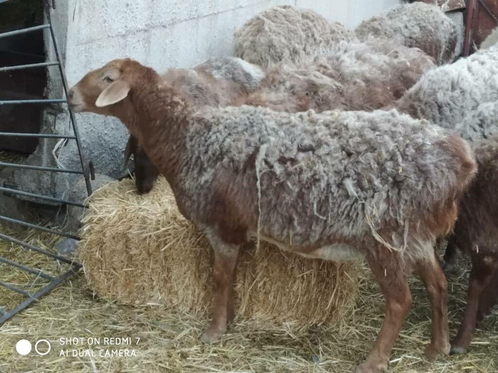 Продаю   Овца (самка)   Арашан   Для разведения   Матка: Продаю   Овца (самка)   Арашан   Для разведения   Матка