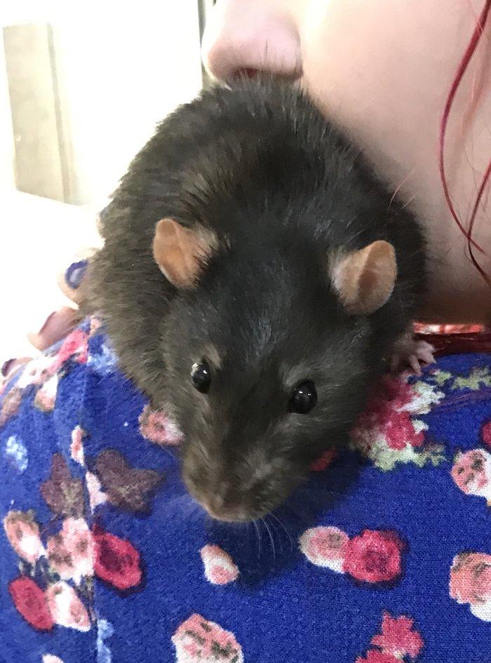 Продается декоративный, ручной крысик. Мальчик взрост 5 месяцев. . Photo 3