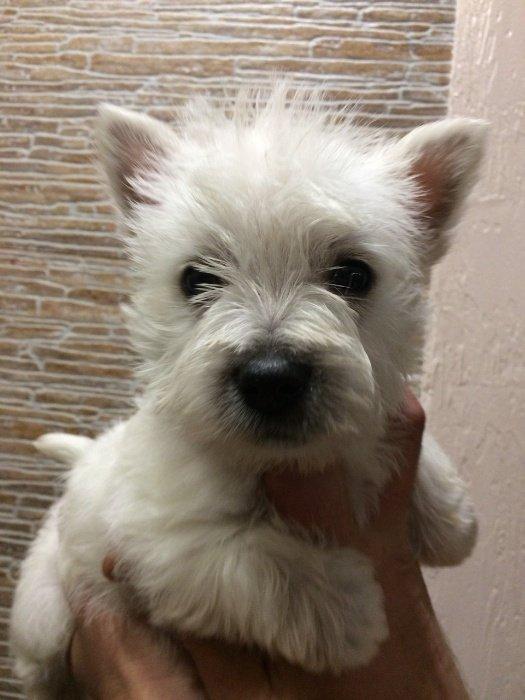 Bakı şəhərində Щенок West Highland White Terrier, замечательный подарок в Год