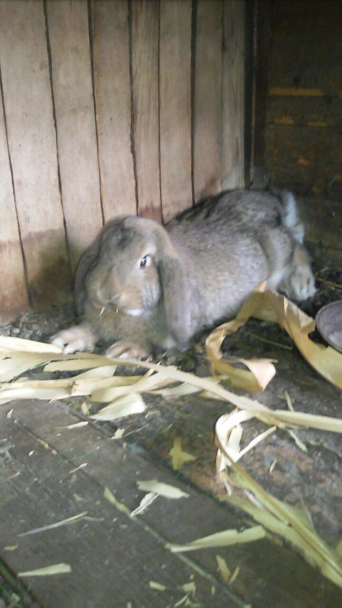 Кролик барашка в Душанбе