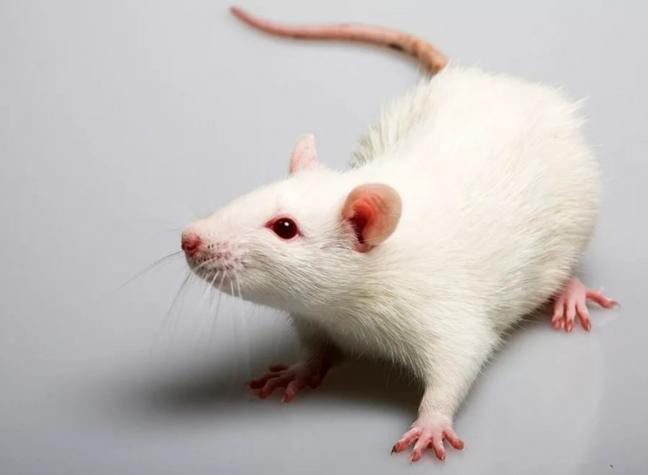 Куплю белых крыс. Photo 0