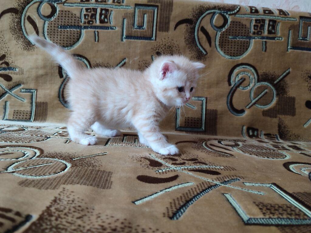 Готовятся к продаже британские котята от элитных: Готовятся к продаже британские котята от элитных