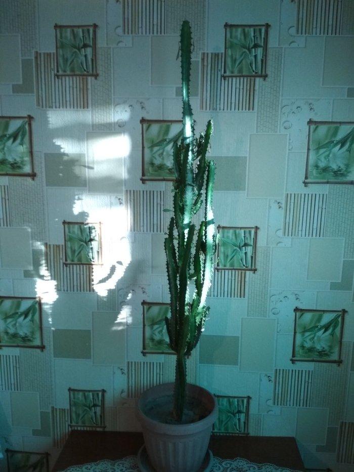 Продаю кактус   в Бишкек