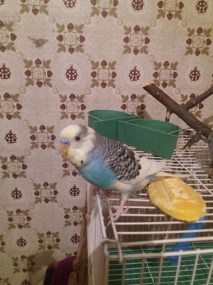 Приученный  волнистый папугай с клеткой,корм,мел,песком. Photo 4