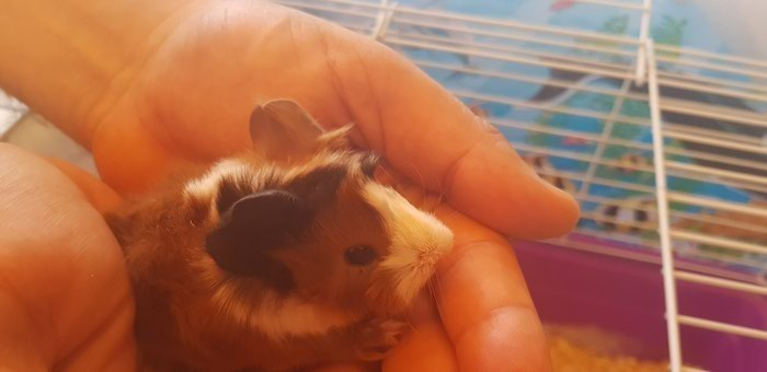 Hand raised lovely ,friendly and  beautiful tricolour guinea pig. Photo 1