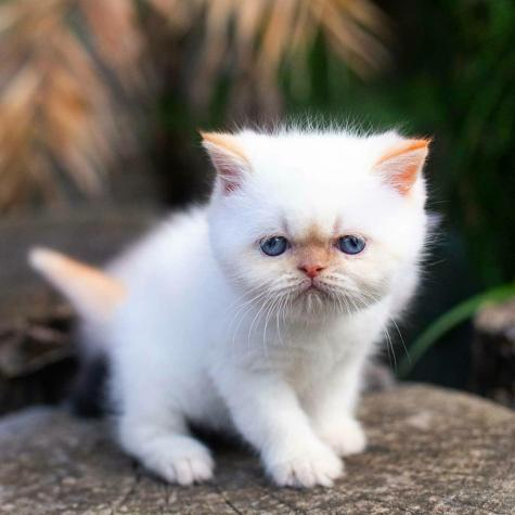 Persian cat for sale in Greece. Photo 2