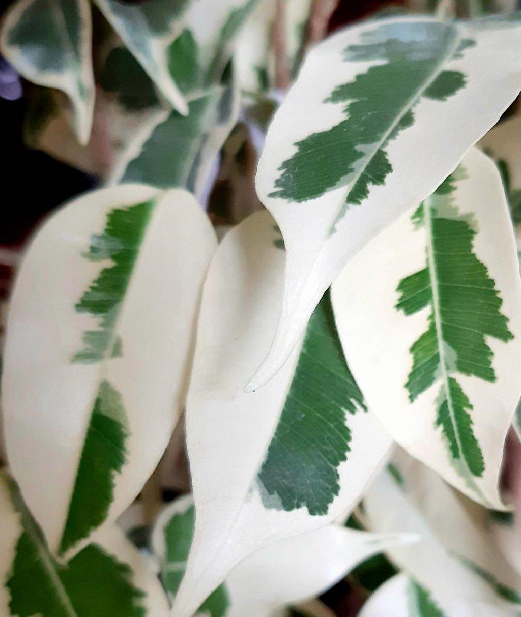Продаю молоденькие растения  пестролистных фикусов( старлайт,твилайт,голден кинг, голден моник, али,амстел грин голд и др
